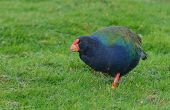 Takahe, (porphyrio hochstetteri) a rare native bird of New Zealand once thought to be extinct, scrat