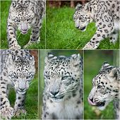 pic of panthera uncia  - Collection of images of Snow Leopard Panthera Uncia big cat in cpativity - JPG
