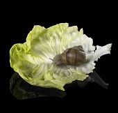stock photo of scourge  - studio photography of a Grapevine snail on lettuce leaf in black reflective back - JPG
