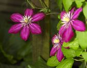 Intense Clematis Flowers