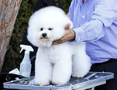 foto of bichon frise dog  - A small beautiful and adorable white bichon frise dog being groomed by a professional groomer using special products and making its coat clean and fluffy - JPG
