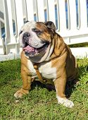 picture of sticking out tongue  - A small young beautiful brown and white English Bulldog sitting on the lawn while sticking its tongue out and looking playful and cheerful - JPG