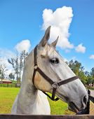 The beautiful head of a white horse on a green lawn. Riding school and breeding of purebred Arabian horses poster