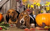 foto of hound dog  - dog dachshund  and basset hound - JPG