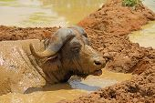 foto of cape buffalo  - A Cape Buffalo nearly covered completely in wet sticky mud while laying down inside a large mud hole