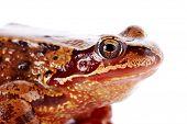 image of pet frog  - Common frog - JPG