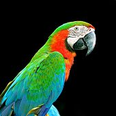 pic of harlequin  - Colorful Harlequin Macaw aviary - JPG