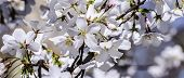 stock photo of glorious  - Spring brings the virginal white of the cherry tree blossoms on a glorious sunny day - JPG