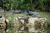 Two Alligators At Rest On Riverbank