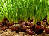 growing green onion from large bulbs on sawdust substrate in hothouse
