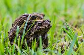 stock photo of mating animal  - The toad mating sex in green grass - JPG