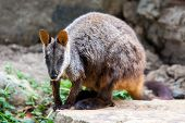 picture of wallabies  - A rock wallaby sits on a rock observing its surroundings in Victoria - JPG