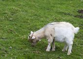 foto of baby goat  - A white baby goat against grass Closeup - JPG