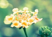 stock photo of lantana  - Macro of Lantana flower cross processed with nice bokeh