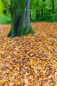 stock photo of irish moss  - Tree surrounded by brown leaves fallen to the ground in autumn - JPG