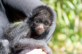 picture of baby spider  - Woman holding a small three month old spider monkey in Madidi National Park in Bolivia - JPG