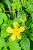 picture of bitter gourd  - Flower of bitter gourd background is a bitter gourd - JPG