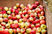 image of cider apples  - Apples in a crate ready to be used for cider