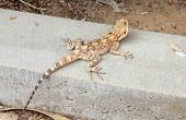 stock photo of steppes  - Steppe agama lizard sitting on a stone - JPG