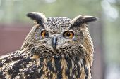 picture of owl eyes  - Eurasian Eagle Owl Up Close Focusing On The Eyes - JPG