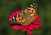 picture of zinnias  - close up of Painted Lady butterfly on zinnia flower - JPG