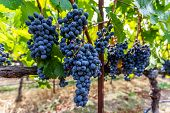pic of vines  - Ripe Grapes on Vine In Napa Valley during harvest season - JPG