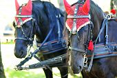 foto of yoke  - horses wearing typical Roman crocheted ear protectors - JPG