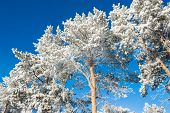 picture of snow forest  - Hoarfrost and snow on the trees in winter forest - JPG