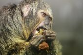 stock photo of omnivore  - A female  White faced saki monkey Pithecia pithecia - JPG