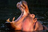stock photo of yawn  - Hippopotamus yawning in the water Masai Mara Kenya