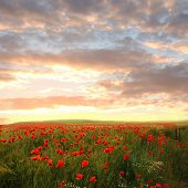 stock photo of chamomile  - wheat field with red poppies and chamomile  - JPG