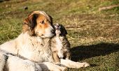 picture of petting  - Karakachan dog - JPG