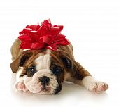 stock photo of dog christmas  - adorable english bulldog puppy with red bow on his head with reflection on white background - JPG