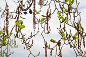 stock photo of alder-tree  - Alder branches with buds and leaves on a sky background - JPG