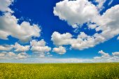 stock photo of rape-seed  - Rape land with a rich blue sky on a summer day - JPG
