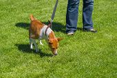 picture of disobedient  - Basenji strains dog - JPG