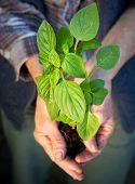 picture of  plants  - Hands holding fresh baby basil plant ready for planting  - JPG