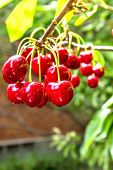 pic of orchard  - Red ripe berries of sweet cherries on a branch close - JPG