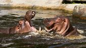 image of hippopotamus  - Two fighting hippos in the water  - JPG