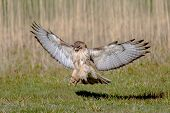 picture of hawk  - Red Tail Hawk coming down for a quick touch and go