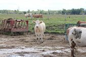 Постер, плакат: Cows in Feed Yard
