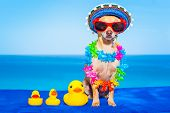 picture of duck  - chihuahua dog with family of plastic rubber ducks abandoned by owner - JPG