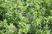 foto of alfalfa  - Medicago sativa in bloom  - JPG