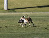 picture of wrestling  - Two whippets wrestling at the park and making faces  - JPG