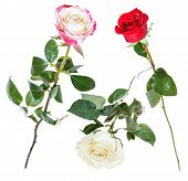 foto of single white rose  - set from pink red white rose flowers isolated on white background - JPG