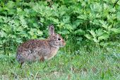 foto of wild-rabbit  - Cottontail Rabbit sitting on a footpath looking into the woods. ** Note: Shallow depth of field - JPG