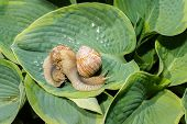 pic of snail-shell  - two big snails on a green hosta leafs - JPG