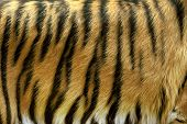 picture of tigers  - Beautiful tiger fur  - JPG
