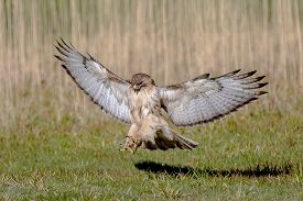 stock photo of hawk  - Red Tail Hawk coming down for a quick touch and go  - JPG