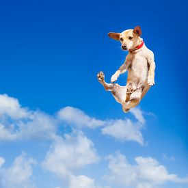 stock photo of crazy face  - chihuahua dog flying and jumping in the air blue sky as backdrop funny and crazy face - JPG